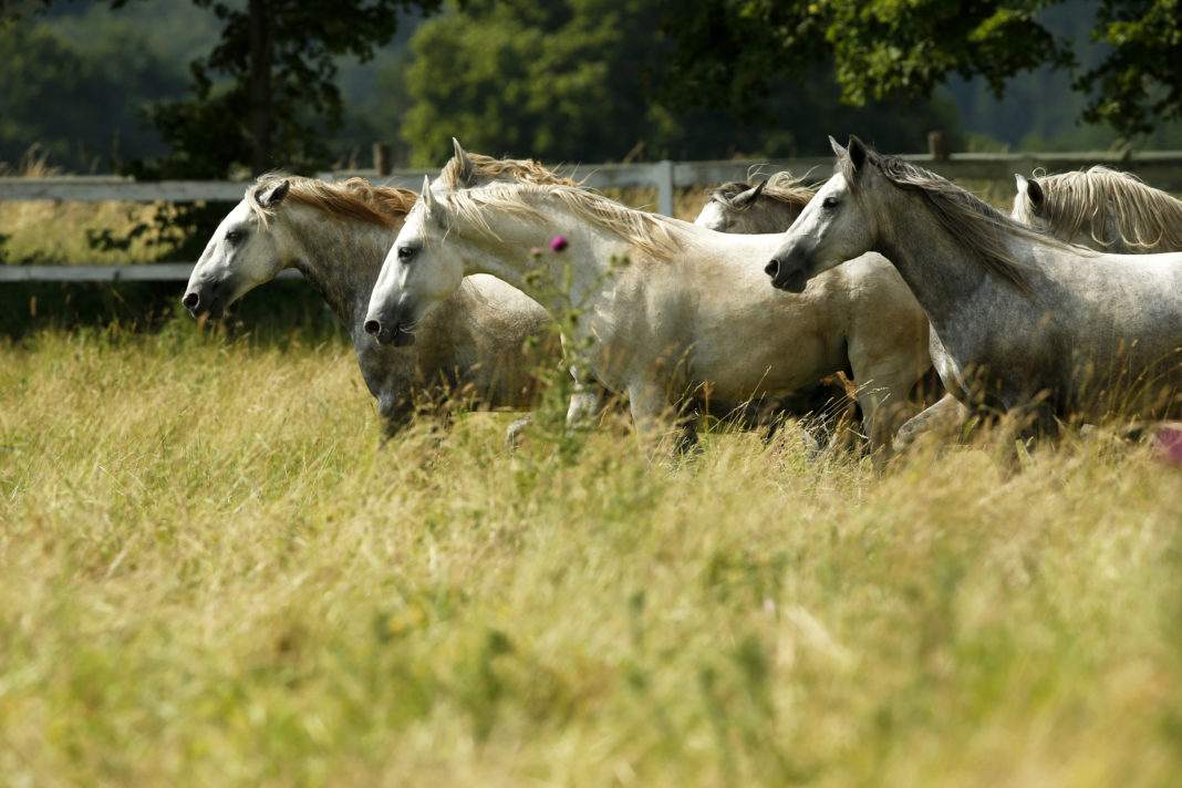 Lipica, Lipizzaner horses